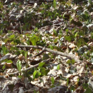 Bärlauch – der Frühlingsbote